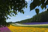 Lavender Farm  Furano  Hokkaido Prefecture  Japan