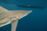 Shark and Remora  Shark Dive  Umkomaas  KwaZulu-Natal  South Africa