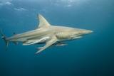 Oceanic Black-Tip Shark and Remora  KwaZulu-Natal  South Africa