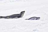 Antarctica Leopard Seal and Pup