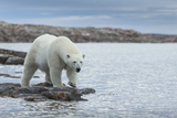 Canada  Nunavut  Repulse Bay  Polar Bear Walking Along Shoreline