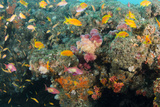 Soft Coral and Reef Fish  Aliwal Shoal  KwaZulu-Natal  South Africa