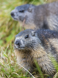 Alpine Marmot in the Hohe Tauern  Mount Grossglockner Austria