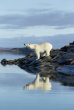 Canada  Nunavut  Repulse Bay  Polar Bears Standing Along Shoreline