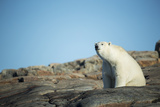 Canada  Nunavut  Repulse Bay  Polar Bear Sitting on Mountain Slope