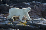 Canada  Nunavut  Repulse Bay  Polar Bears Walking Along Shore