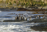 Falkland Islands  Sea Lion Island Magellanic Penguins and Surf
