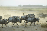 Kenya  Amboseli National Park  Wildebeest Running at Sunset