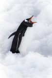 Neko Harbor  Antarctica Gentoo Penguin Calls Out