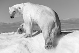 Canada  Nunavut Territory  Wet Polar Bear on an Iceberg in Hudson Bay
