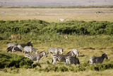 Kenya  Amboseli National Park  Group of Zebras