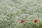 Flower Farm  Furano  Hokkaido Prefecture  Japan