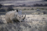 White Rhinoceros  Great Karoo Private Reserve  South Africa