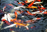 Southeast Asia  China  Macau  Japanese Koi Fish in Motion
