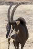 Namibia  Windhoek  Okapuka Ranch Close-up of Sable Antelope