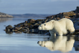 Canada  Nunavut  Repulse Bay  Polar Bears in Shallows of Hudson Bay