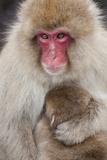 Japanese Macaque  Snow Monkey  Joshin-etsu NP  Honshu  Japan