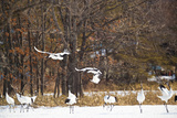 Red Crowned Cranes in Snow Hokkaido Japan