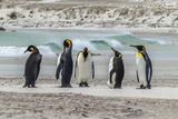 Falkland Islands  East Falkland King Penguins on Beach