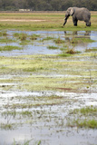Kenya  Amboseli NP  Elephants in Wet Grassland in Cloudy Weather
