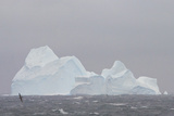 Southern Ocean  Antarctic Giant Petrels Flying in Front of an Iceberg