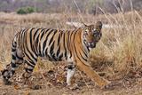 Royal Bengal Tiger in Grassland  Tadoba Andheri Tiger Reserve  India