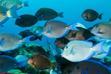 School of Purple and Blue Tangs Swim Off of Bonaire