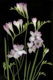 Freesia on Black Background