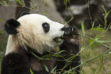 China  Sichuan  Chengdu  Giant Panda Bear Feeding on Bamboo Shoots