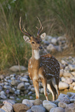 Chital Stag on the Riverbed of River Ramganga  Corbett NP  India