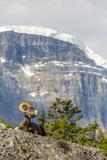 Canada  Alberta  Jasper NP  Bighorn Sheep Ram (Ovis Canadensis)