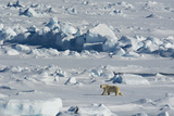 Norway Svalbard Hinlopen Strait Polar Bear Walking on the Drift Ice
