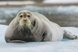 Norway Svalbard 14th of July Glacier Bearded Seal on an Ice Floe