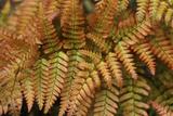Fern Leaf Close-up