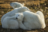 Canada  Manitoba  Churchill  Polar Bear and Cubs Resting on Tundra