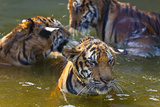 Young Tigers Playing in Water  Indochinese Tiger  Thailand