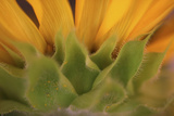 Yellow Sunflower Close-up