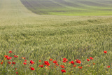 Romania  Danube River Delta  Bestepe  Fields with Poppies  Spring