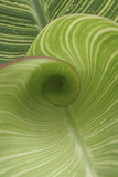 Striped Canna Leaf Abstract
