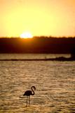 Caribbean  Netherlands Antilles Flamingo in Gotomeer Lake at Sunset