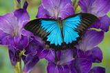 Mountain Blue Swallowtail of Australia, Papilio Ulysses Papier Photo par Darrell Gulin