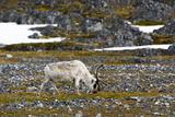 Norway Svalbard Camp Millar Svalbard Reindeer Grazing