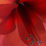 Red Amaryllis Abstract