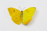 Orange-Barred Sulphur Butterfly  Comparison of Top and Bottom Wings