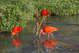 Scarlet Ibis (Eudocimus Ruber)  Brazil