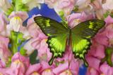 Green Swallowtail Butterfly Papilio Neumogeni