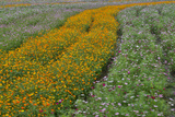 Commercially Grown Cosmos Flowers in Beautiful Patterned Rows