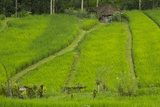 Indonesia  Bali Terraced Subak Rice Fields of Bali Island