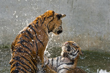 Tigers Playing in Water  Indochinese Tiger or Corbetts Tiger  Thailand