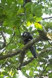 Equatorial Saki with Radio Collar  Amazon Rainforest  Ecuador